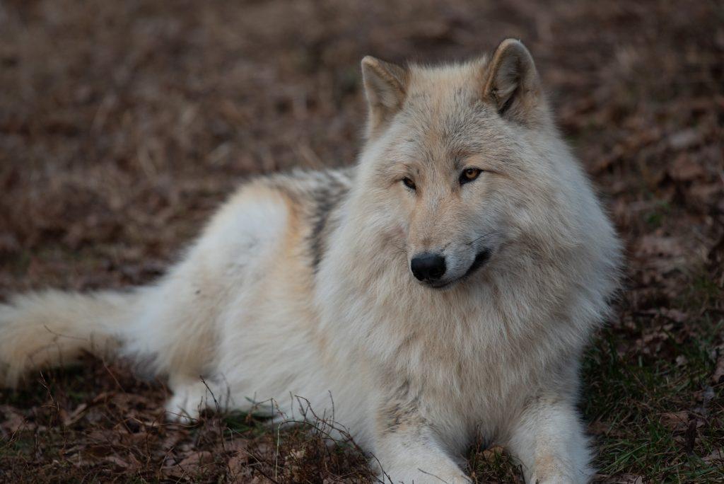 White Wolf 1