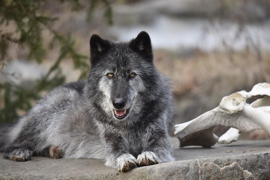 Night Wolf 1