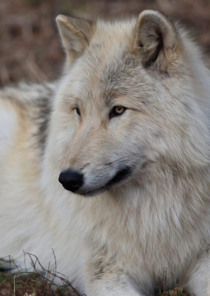 White Wolf 2